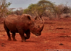 White-Rhino-copyright-photographers-on-safari-com-6379
