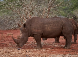 White-Rhino-copyright-photographers-on-safari-com-6381