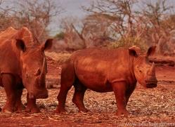 White-Rhino-copyright-photographers-on-safari-com-6385