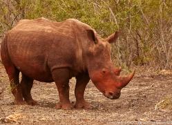 White-Rhino-copyright-photographers-on-safari-com-6388