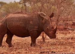 White-Rhino-copyright-photographers-on-safari-com-6390