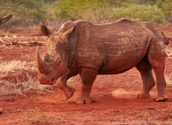 White-Rhino-copyright-photographers-on-safari-com-6391