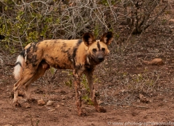 Wild-Dogs-copyright-photographers-on-safari-com-6393