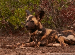 Wild-Dogs-copyright-photographers-on-safari-com-6394