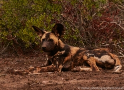Wild-Dogs-copyright-photographers-on-safari-com-6395