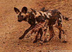 Wild-Dogs-copyright-photographers-on-safari-com-6396