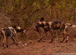 Wild-Dogs-copyright-photographers-on-safari-com-6398