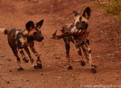 Wild-Dogs-copyright-photographers-on-safari-com-6399