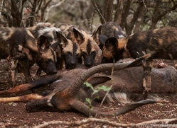 Wild-Dogs-copyright-photographers-on-safari-com-6402