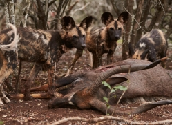 Wild-Dogs-copyright-photographers-on-safari-com-6403