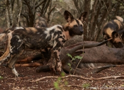Wild-Dogs-copyright-photographers-on-safari-com-6407