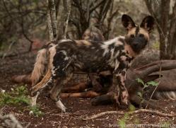Wild-Dogs-copyright-photographers-on-safari-com-6408