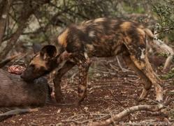 Wild-Dogs-copyright-photographers-on-safari-com-6409