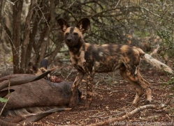 Wild-Dogs-copyright-photographers-on-safari-com-6410