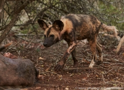 Wild-Dogs-copyright-photographers-on-safari-com-6411