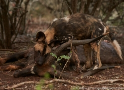 Wild-Dogs-copyright-photographers-on-safari-com-6412