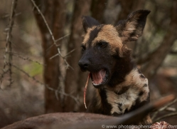 Wild-Dogs-copyright-photographers-on-safari-com-6413