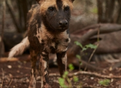 Wild-Dogs-copyright-photographers-on-safari-com-6416