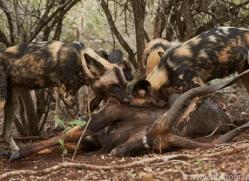 Wild-Dogs-copyright-photographers-on-safari-com-6417