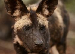 Wild-Dogs-copyright-photographers-on-safari-com-6419
