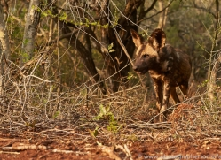 Wild-Dogs-copyright-photographers-on-safari-com-6423