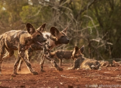 Wild-Dogs-copyright-photographers-on-safari-com-6424