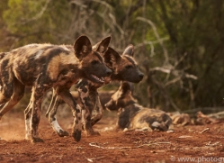 Wild-Dogs-copyright-photographers-on-safari-com-6425