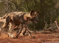 Wild-Dogs-copyright-photographers-on-safari-com-6426