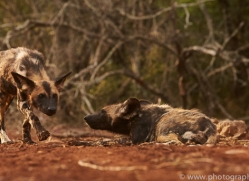 Wild-Dogs-copyright-photographers-on-safari-com-6429