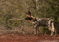 Wild-Dogs-copyright-photographers-on-safari-com-6430