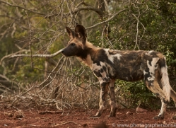 Wild-Dogs-copyright-photographers-on-safari-com-6431
