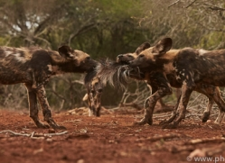 Wild-Dogs-copyright-photographers-on-safari-com-6433