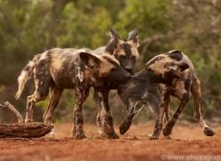 Wild-Dogs-copyright-photographers-on-safari-com-6434