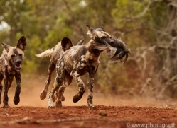 Wild-Dogs-copyright-photographers-on-safari-com-6435