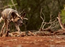 Wild-Dogs-copyright-photographers-on-safari-com-6436