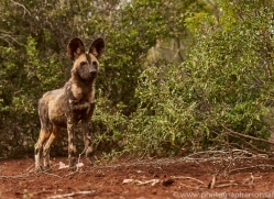 Wild-Dogs-copyright-photographers-on-safari-com-6437