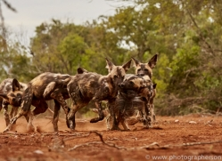 Wild-Dogs-copyright-photographers-on-safari-com-6438