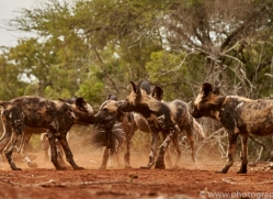 Wild-Dogs-copyright-photographers-on-safari-com-6439