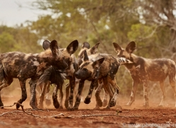 Wild-Dogs-copyright-photographers-on-safari-com-6440