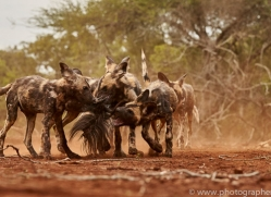 Wild-Dogs-copyright-photographers-on-safari-com-6442