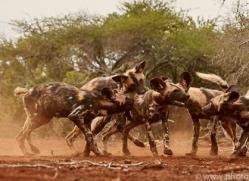 Wild-Dogs-copyright-photographers-on-safari-com-6443