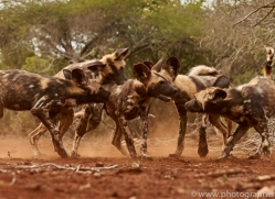 Wild-Dogs-copyright-photographers-on-safari-com-6444