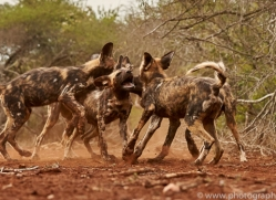 Wild-Dogs-copyright-photographers-on-safari-com-6445