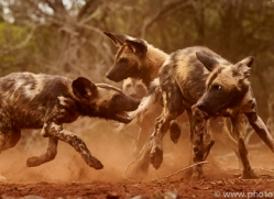 Wild-Dogs-copyright-photographers-on-safari-com-6446