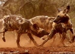 Wild-Dogs-copyright-photographers-on-safari-com-6447