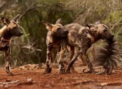 Wild-Dogs-copyright-photographers-on-safari-com-6448