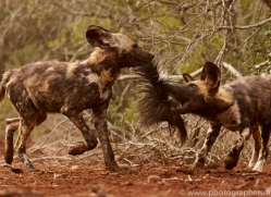 Wild-Dogs-copyright-photographers-on-safari-com-6450