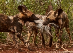 Wild-Dogs-copyright-photographers-on-safari-com-6453