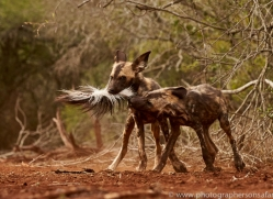Wild-Dogs-copyright-photographers-on-safari-com-6454