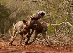 Wild-Dogs-copyright-photographers-on-safari-com-6455